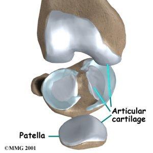 К наиболее важным связкам коленного сустава относятся.